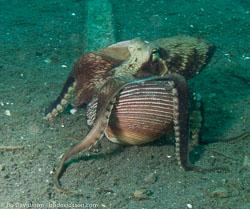 BD-090928-Lembeh-9284859-Amphioctopus-marginatus-(Iw-Takia-1964)-[Coconut-octopus].jpg
